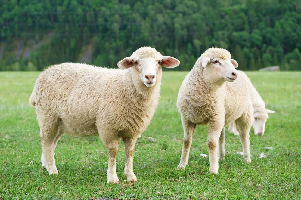 【益贝比羊奶知识课堂】冬天适合喝绵羊奶么?